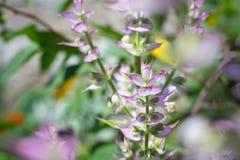 Schöner blühender Busch des Salbeis gegen den Hintergrund eines hellen Gartens im Sommer Lizenzfreie Stockfotos