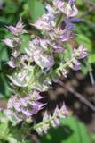 Schöner blühender Busch des Salbeis gegen den Hintergrund eines hellen Gartens im Sommer Stockbilder