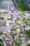 Schöner blühender Busch des Salbeis gegen den Hintergrund eines hellen Gartens im Sommer Stockfotos