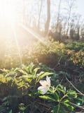 Schöner blühender erster Frühling der Anemone blüht im Sonnenunterganglicht Lizenzfreie Stockbilder