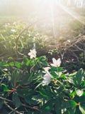 Schöner blühender erster Frühling der Anemone blüht im Sonnenunterganglicht Stockfotografie