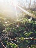 Schöner blühender erster Frühling der Anemone blüht im Sonnenunterganglicht Lizenzfreie Stockfotografie