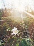 Schöner blühender erster Frühling der Anemone blüht im Sonnenunterganglicht Lizenzfreie Stockfotos