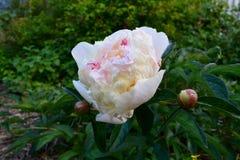 Schöner blühender Garten der Pfingstrose im Frühjahr Empfindliche Blume und Knospen lizenzfreie stockfotos