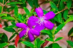 Schöner blühender indischer Rhododendron (Osbeckia-stellata Schinken etwas körniges) Lizenzfreie Stockfotos