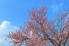 Schöner blühender Pflaumenbaum im Frühjahr voll von den rosa Blüten stockbild