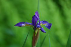 Schöner blühender purpurroter Sibirier Iris Flower in einem Garten Stockfotos