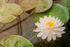 Schöner blühender weißer Lotos Stockbild