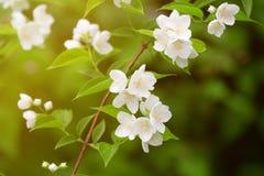 Schöner blühender Zweig des Jasmins Stockfoto