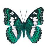 Schöner blasser er-grün Schmetterling, gemeiner Kommandant (moduza procris) unter den Flügelanteilen an fantastischem Farbprofil  lizenzfreies stockfoto