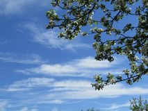 Schöner blauer Himmel, Wolken und Apfelbaum Stockfotografie