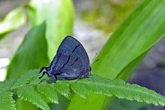 Schöner blauer Schmetterling auf dem grünen Hintergrund des Atlantiks Stockbild