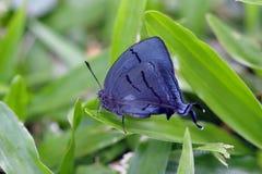 Schöner blauer Schmetterling auf dem grünen Hintergrund des Atlantiks Stockfotografie