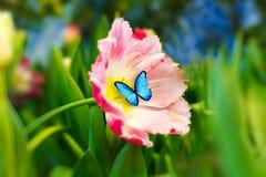 Schöner blauer Schmetterling, der auf einer Blume sitzt Rosafarbene Tulpe Stockbilder
