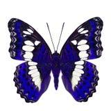 Schöner blauer Schmetterling, gemeiner Kommandant (moduza procris) unter den Flügelanteilen an fantastischem Farbprofil lokalisie stockbilder
