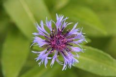 Schöner blauer sonniger Tag der wilden Blume auf wildem Feld Stockfoto