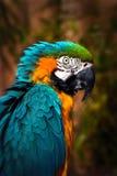 Schöner Blauund GoldMacaw - Papageien-Portrait stockfoto