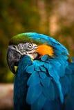 Schöner Blauund GoldMacaw - Papageien-Portrait 3 lizenzfreie stockbilder