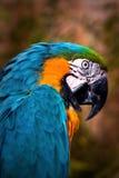 Schöner Blauund GoldMacaw - Papageien-Portrait 4 lizenzfreies stockfoto