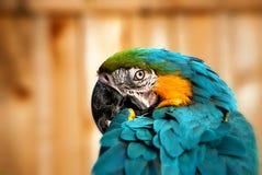 Schöner Blauund GoldMacaw - Papageien-Portrait 7 stockfotografie