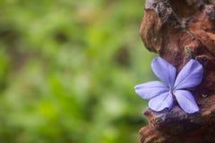 Schöner Bleiwurzblumenhintergrund Lizenzfreie Stockfotos