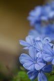 Schöner Bleiwurzblumenhintergrund (leadworth Blume) Lizenzfreie Stockfotografie