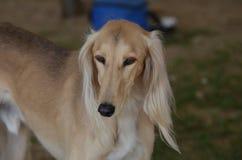 Schöner blonder Saluki-Hund Stockfotos