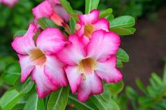 Schöner Blume Adenium Lizenzfreies Stockbild