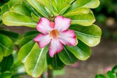 Schöner Blume Adenium Lizenzfreie Stockfotos