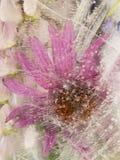 Schöner Blume Echinacea eingefroren im Eis Lizenzfreie Stockfotos