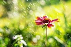 Schöner Blumenaster Gaillardia im hintergrundbeleuchteten Sonnenlicht mit spritzt vom Wasser Stockfotos