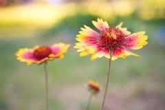 Schöner Blumenastern Gaillardia mit Wassertropfen Stockfotos