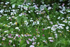 Schöner Blumenhintergrund mit Gänseblümchen Stockfotografie