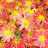 Schöner Blumenhintergrund mit roter und gelber Chrysantheme Stockfotos