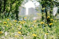 Schöner Blumenlöwenzahn und grünes Gras am sonnigen Tag der Stadt Lizenzfreies Stockbild