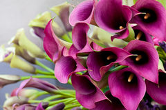 Schöner Blumenstrauß der Callalilien. Stockbilder