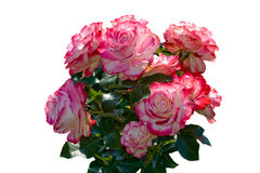 Schöner Blumenstrauß der rosafarbenen und weißen Rosen. Lizenzfreie Stockbilder