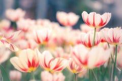 Schöner Blumenstrauß der Tulpen Lizenzfreie Stockfotos