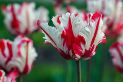 Schöner Blumenstrauß der Tulpen bunte weiße und rote Tulpen Sonne der Tulpen im Frühjahr Tulpe auf dem Gebiet Lizenzfreies Stockfoto