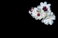 Schöner Blumenstrauß des weißen Jasmins blüht auf einem Schwarzen Lizenzfreie Stockfotos