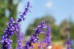 Schöner Blumenstrauß-Violet Lavender Flowers For Nature-Hintergrund Stockfotos