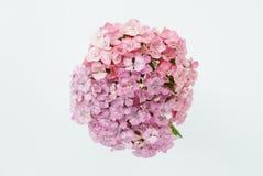 Schöner Blumenstrauß von blassem - rosa Flammenblumen auf einem weißen Hintergrund Stockbilder
