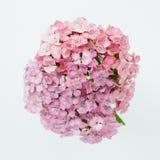 Schöner Blumenstrauß von blassem - rosa Flammenblumen auf einem weißen Hintergrund Stockfotografie