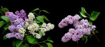 Schöner Blumenstrauß von Fliedern in den verschiedenen Farben auf einem schwarzen backg Lizenzfreies Stockbild