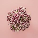 Schöner Blumenstrauß von magentaroten Flammenblumen auf einem rosa Pastellhintergrund Stockbilder