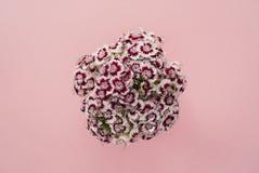 Schöner Blumenstrauß von magentaroten Flammenblumen auf einem rosa Pastellhintergrund Stockfoto