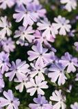 Schöner Blumenstrauß von purpurroten lila Blumen in den Mädchenhänden stockbild