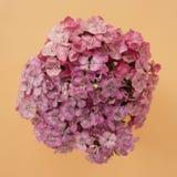 Schöner Blumenstrauß von rosa Flammenblumen auf einem Pfirsichpastellhintergrund Lizenzfreies Stockbild