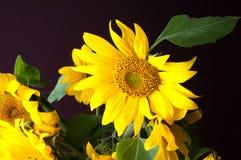 Schöner Blumenstrauß von Sonnenblumen Stockfotos