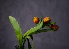 Schöner Blumenstrauß von Tulpen in den Wassertropfen Stockbilder